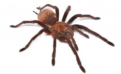 IMB Goliath_spider_thumbnail.jpg