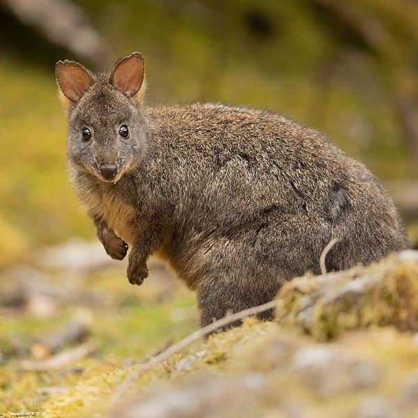 600px-Tasmanian_Pademelon_-_Waterworks_reserve.jpg