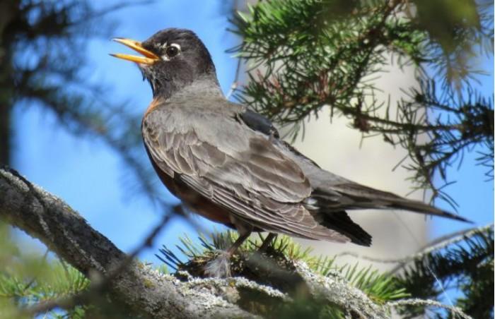 研究:美洲知更鸟因气候变化提早了迁徙至北极的时间