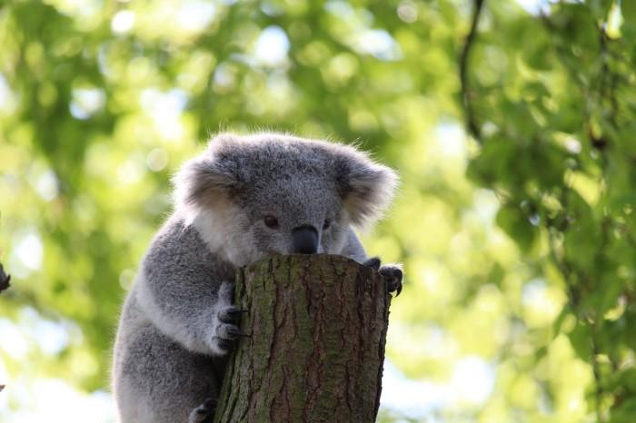 Screenshot_2020-07-01 Pixabay上的免费图片 - 考拉熊, 爬, 树, 考拉, 动物, 性质, 森林, 丛林, 澳大利亚.jpg