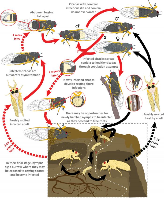 科学家发现能够控制精神的寄生虫:使雄蝉鸣叫吸引配偶来传播