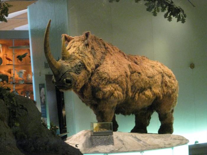 Woolly_Rhino_Weston_Park_Museum_2011.jpg
