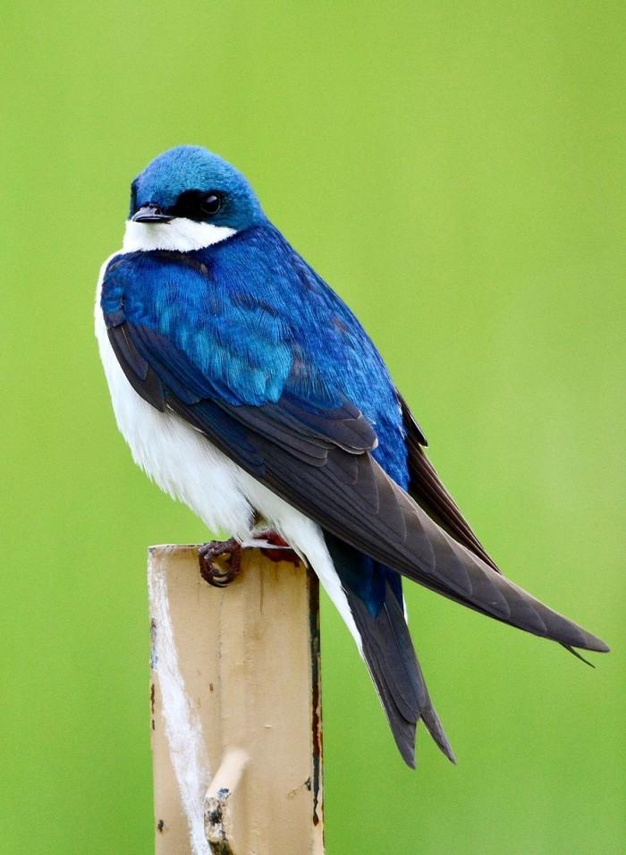 Tree_swallow_at_Stroud_Preserve.jpg