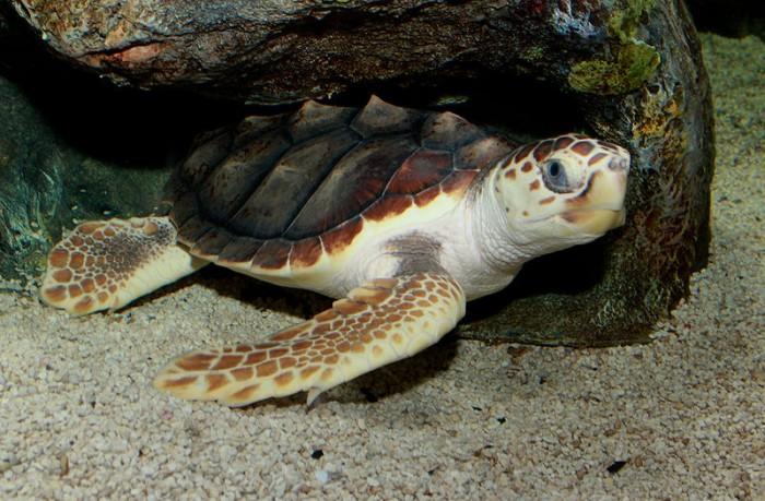800px-Loggerhead_Sea_Turtle_(Caretta_caretta)_2.jpg