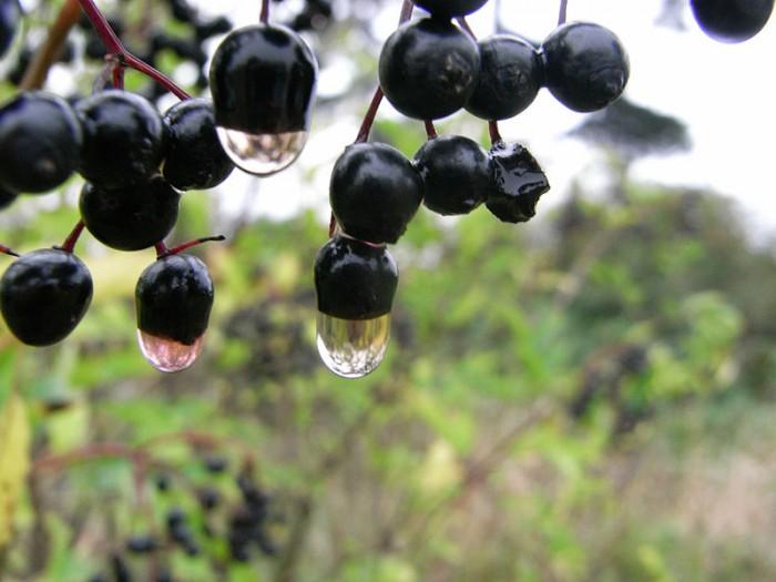 800px-Blackcurrant_drops.jpg