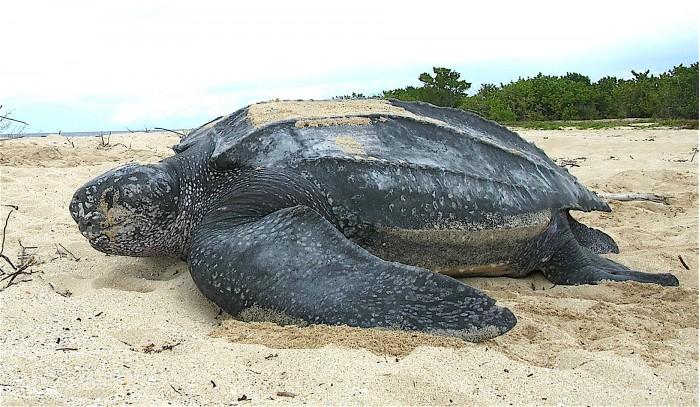Leatherback_sea_turtle_Tinglar,_USVI_(5839996547).jpg