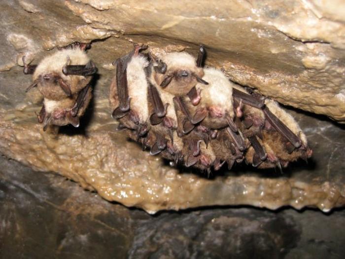 Little-Brown-Bat-and-Indiana-Bats-777x583.jpg