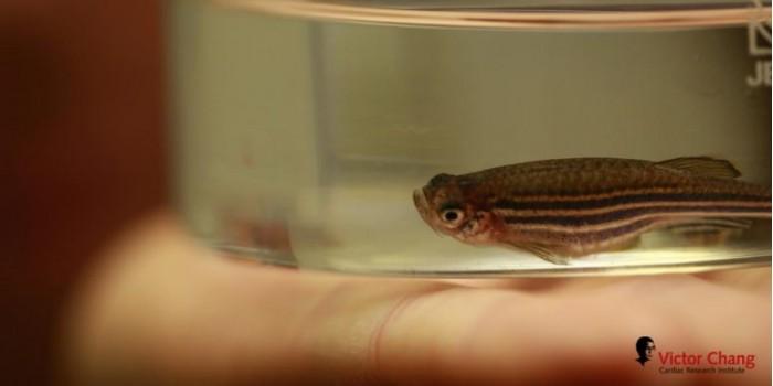Zebrafish-Victor-Chang-Cardiac-Research-Institute-777x389.jpg