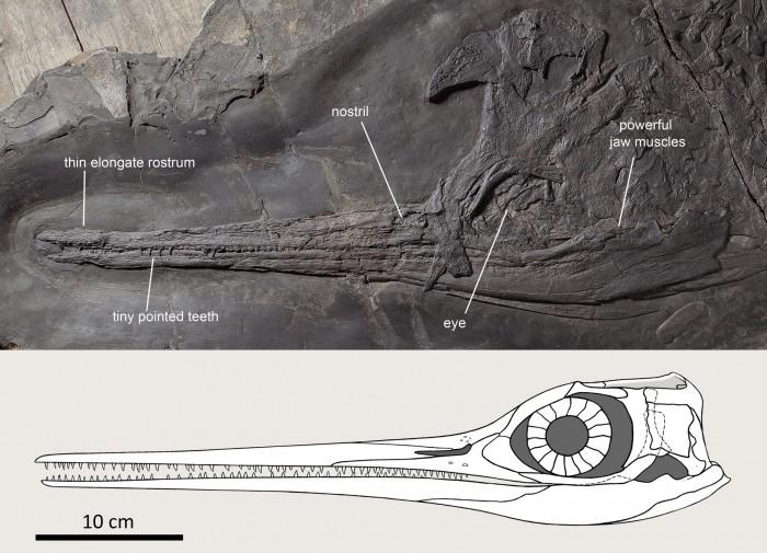 Besanosaurus-Skull-scaled.jpg