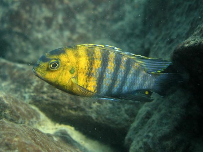 Cichlid-Species-From-Africas-Lake-Malawi-2048x1536.jpg