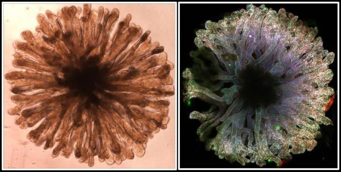 Kidney-Organoid.jpg