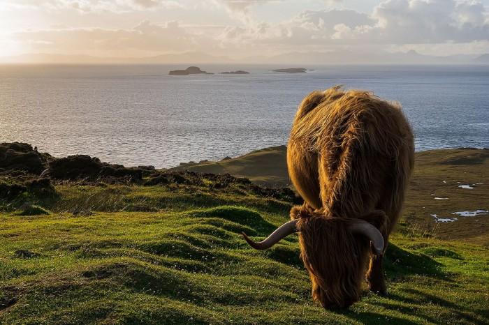 Highland_Cattle_on_Isle_of_Skye,_Scotland.jpg