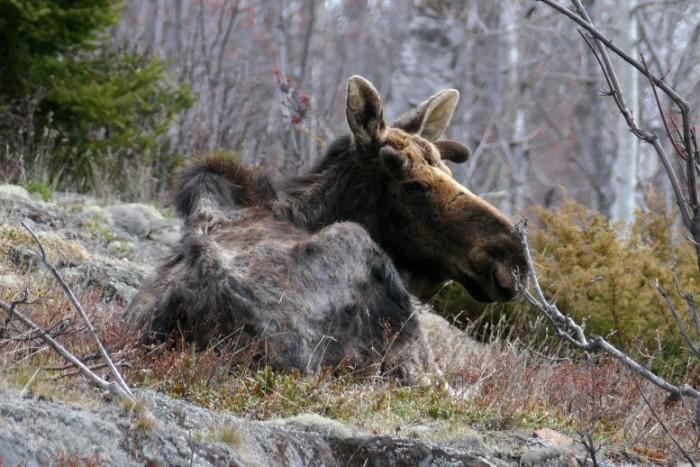 Hungry-Moose-777x518.jpg