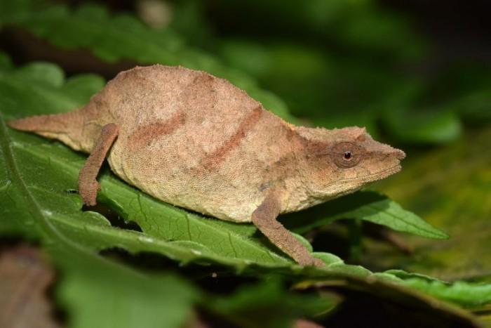 Rare-Chapmans-Pygmy-Chameleon-777x518.jpg
