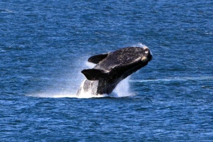 Right-Whale-Breach-777x518.jpg