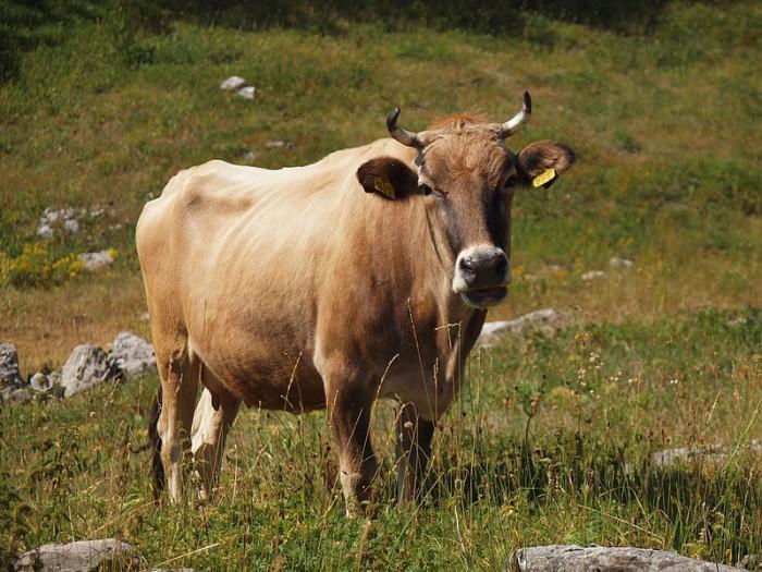 800px-Buša_cattle_-_Illyrian_cattle_leg_P.Cikovac_Bijela_gora_-_Mt_Orjen_Montenegro.jpg