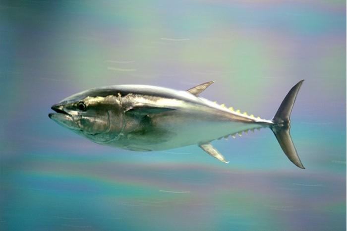800px-Pacific_bluefin_tuna.jpg