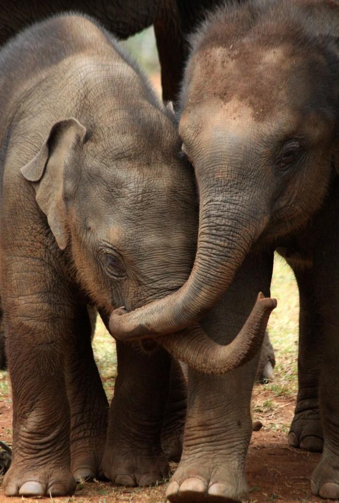 Asian-Elephant-Siblings.jpg