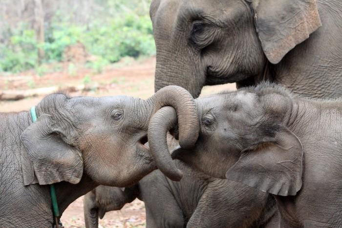Asian-Elephant-Siblings-Family-scaled.jpg
