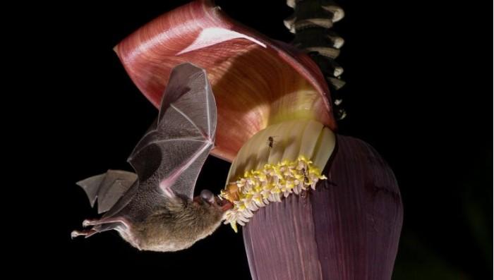 Pallass-Long-Tongued-Bat-Glossophaga-soricina-777x441.jpg