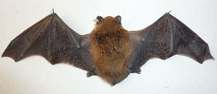 800px-Bat_back_side.jpg