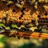 是谁偷走了美国加州蜂农的蜂箱?