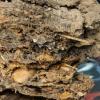 科学家使用DNA测序技术对古老林鼠巢穴进行分析 有助于了解地球的过去
