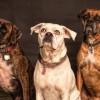 研究人员正在探索让狗嗅出新冠肺炎患者可能性