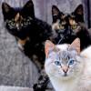 研究发现新冠病毒可以感染猫:14.7%的猫已感染