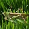科学家揭示蝗虫聚群成灾的奥秘