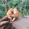 两只猴子接吻被发现害羞打闹 网友:都是旅游的情侣教的