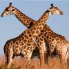 """非洲长颈鹿是""""避雷针"""",经常遭雷击死亡"""