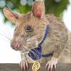 一只非洲巨颊囊鼠因为发现了39枚地雷而获得勇敢勋章