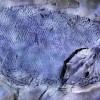 """中国发现2.44亿年前""""云南暴鱼"""" 为世界最古老疣齿鱼科鱼类"""
