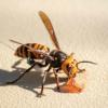 """美国发现的首个""""杀人大黄蜂""""巢穴即将被摧毁"""