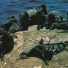 研究发现贝加尔海豹以微小的甲壳类动物为主要食物