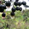 研究称黑加仑对餐后血糖和胰岛素水平有着明显的影响