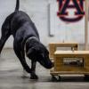 研究称橡胶聚合物可使嗅探犬的训练更安全