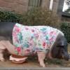 迷你宠物猪4年长成350斤大肥猪 主人:不是说好长不大的吗