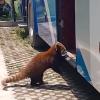 """野生动物园小熊猫企图藏进大巴车""""越狱"""":结果被""""无情""""抓回"""