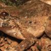 """科学家发现青蛙新物种:""""怪异的獠牙蛙"""""""
