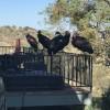 美加州一女性发现自己在乡下的家被一群极度濒危秃鹰占领