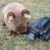 科学家开发WomBot机器人 用于探索和分析袋熊的洞穴