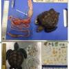 报告显示来自印度洋和太平洋的幼龟正在吞食有害塑料垃圾