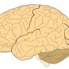 科学家发现3000年前人类大脑变小新线索