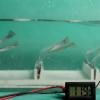 受海藻随波摇曳启发  科学家开发能在水下收集能量的摩擦纳米发电机
